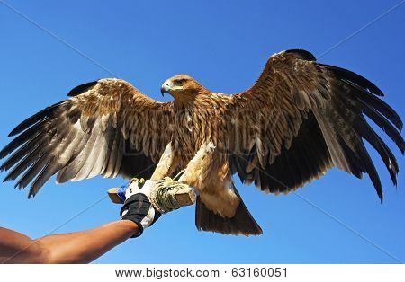 Falcon bird.