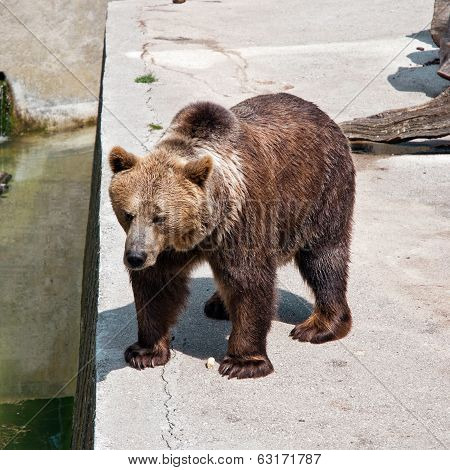 Brown Bear At Zoo