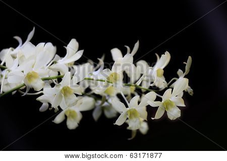 Flowers of a white orchid