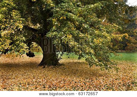 Lonely big linden tree at autumn