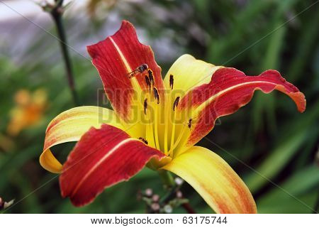 Lily Flower In The Forest