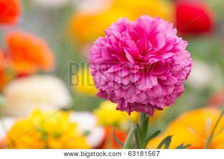 Purple ranonkel flower at a colorful background