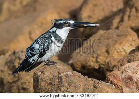 Pied Kingfisher (ceryle Rudis) Holding A Fish In Its Beak