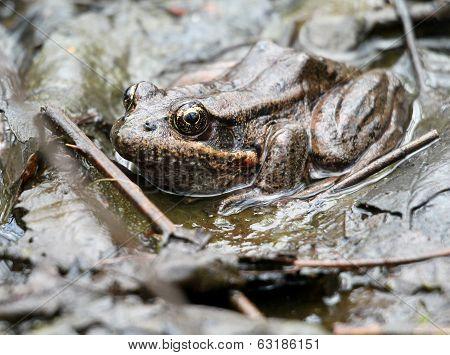 Red-legged Frog Hiding in Plain Sight