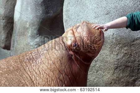 Big Fat Walrus Snout And Human Hand