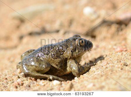 Common Spadefoot