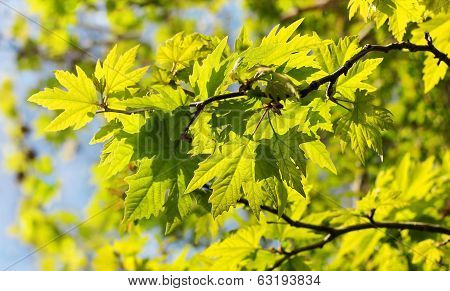 Sunlit Leaves Of Sycamore Tree