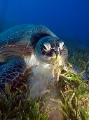 image of green turtle  - A green turtle  - JPG