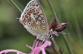 Common Blue Butterfly On Ragged Robin