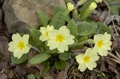 foto of primrose  - Primrose - Primula vulgaris