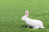 white rabbit in grass closeup