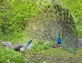 image of peahen  - Peacock and peahen courting in spring ritual - JPG