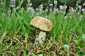 image of boletus edulis  - Boletus Edulis edible mushroom in the forest