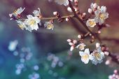 closeup. flowering cherry. spring background