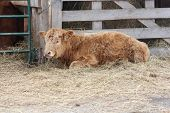 Little brown bull laying on straw by Gate