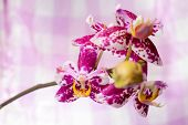 Blooming Branch Spotted Purple Orchid, Phalaenopsis On Pink And White Background