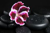 Spa Still Life With Beautiful Deep Purple Flower And Zen Stones With Drops On Black  Background