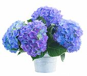 stock photo of lilac bush  - posy   of blue hortensia flowers in metal pot  isolated on white background - JPG