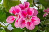pic of geranium  - Pelargonium (geranium) is a popular houseplant. 