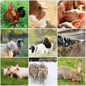 pic of roosters  - Collage of farm animals  - JPG