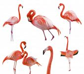 stock photo of flamingo  - Collection of Beautiful Flamingos Isolated on a White Background  - JPG