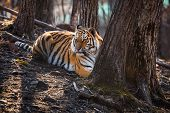Tiger lying near the tree