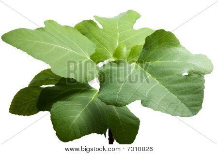 Figs Tree