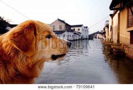 Golden Retriever in Suzhou, China.