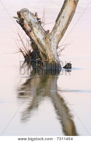 Dead Tree Standing In Water