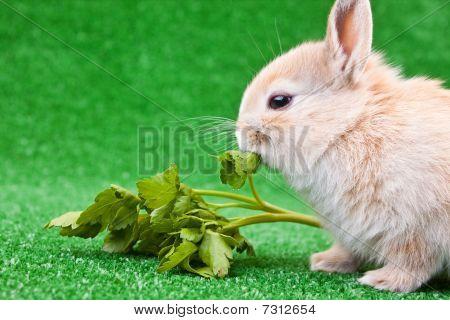 Domestic Rabbit Eating