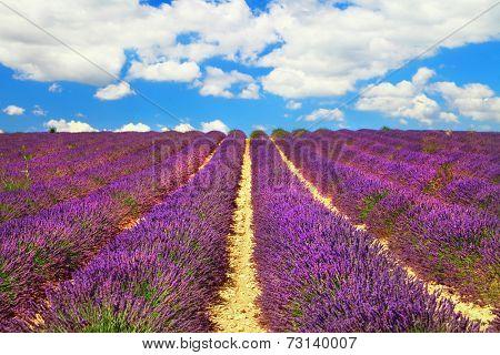 beautiful feelds of blooming lavanda - simbol of Provence, Franc
