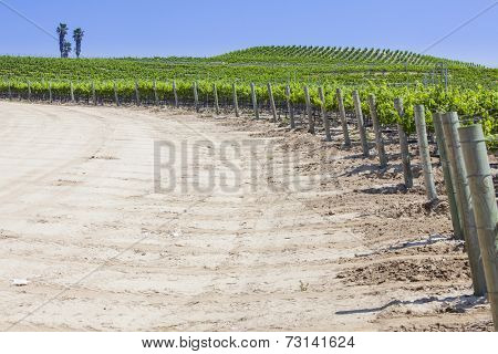 Beautiful Lush Grape Vineyard In The Sun with Room for Your Own Text.