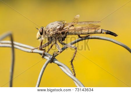 Closeup of a Giant Robber Fly resting on wire