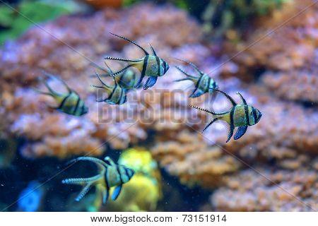 striped fish in aquarium closeup