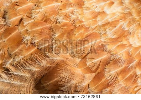 Abstract background of hen feathers detail