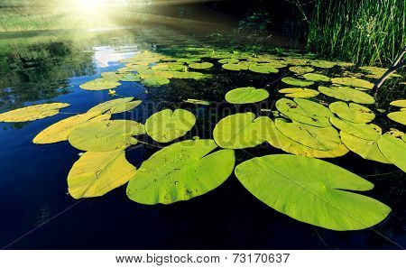 Big water lily leafs on water surface