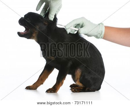 dog being vaccinated or microchipped