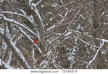 Red Cardinals In The Snow