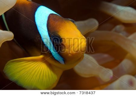 anemonefish (amphiprion)