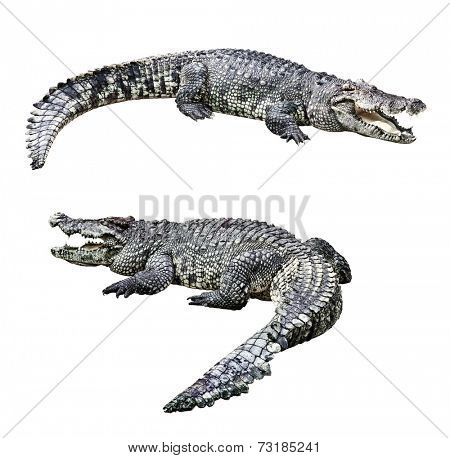 Crocodiles isolated on white background
