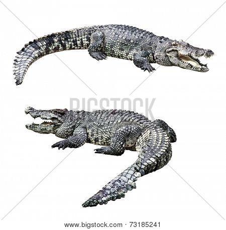Crocodiles isolated on white background