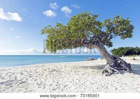 Divi divi tree on Aruba island in the Caribbean