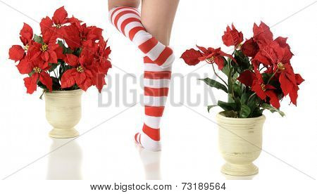 Elf feet in red and white striped knee-high socks, dancing between Christmas poinsettias.  On a white background.
