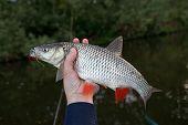 stock photo of chub  - Chub in fisherman - JPG
