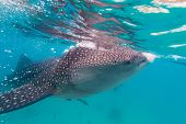 image of plankton  - Underwater shoot of a gigantic whale sharks  - JPG