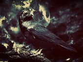 foto of angry bird  - Black raven in moonlight perched on tree - JPG
