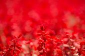 picture of salvia  - Red Salvia  - JPG