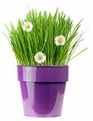 stock photo of catnip  - grass with botany daisies in metallic flower pot isolated on white background - JPG