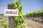 stock photo of shiraz  - Shiraz Sign On Post at the End of a Vineyard Row of Grapes - JPG