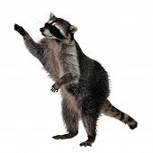 image of raccoon  - Two of its most distinctive features are its extremely dexterous front paws and its facial mask - JPG